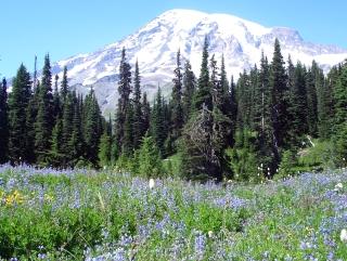 Rainier's Wildflowers