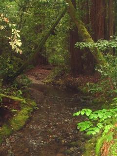 Lush Muir Woods