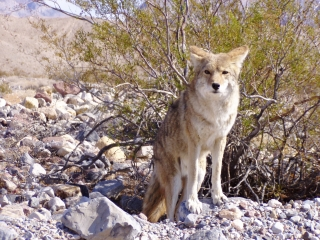 Photogenic Coyote