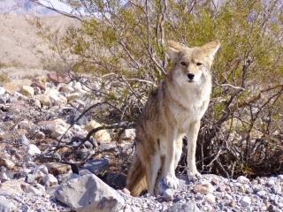 Photogenic Coyote