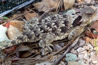 Coastal Horned Lizard