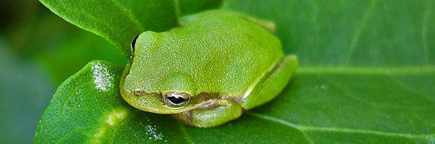 Frogs can't swallow with their eyes open