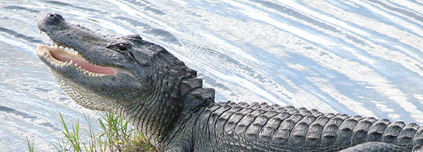 How many alligators are there in the U.S. ?