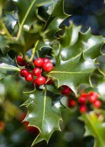 22 fun facts about mistletoe! (List)
