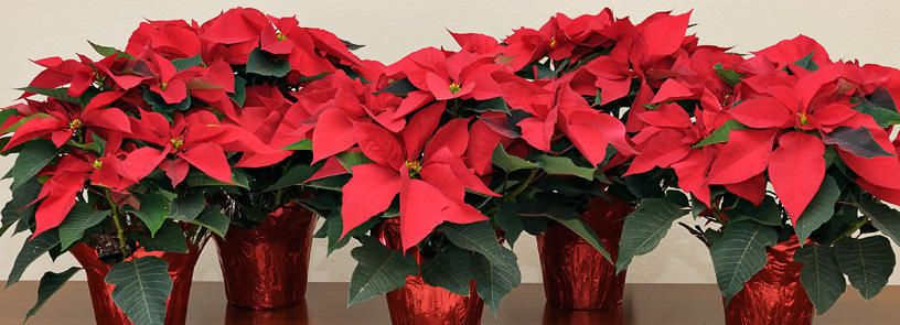 7 things you didn't know about Poinsettias! (List ...