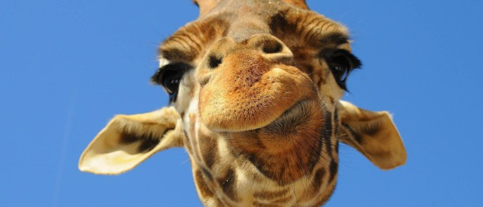 Giraffe Trivia: 15 quick facts about the tallest animal on Earth!