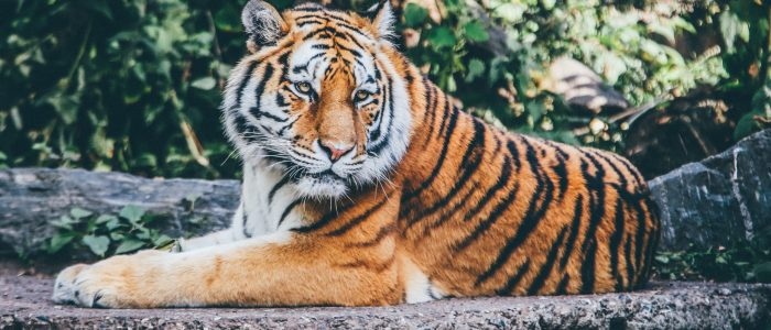 31 facts about tigers!