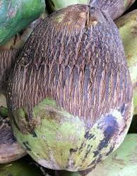 Coconut Mite
