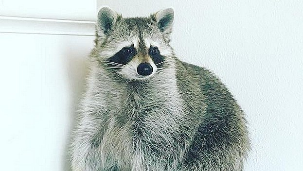 pumpkin-the-raccoon