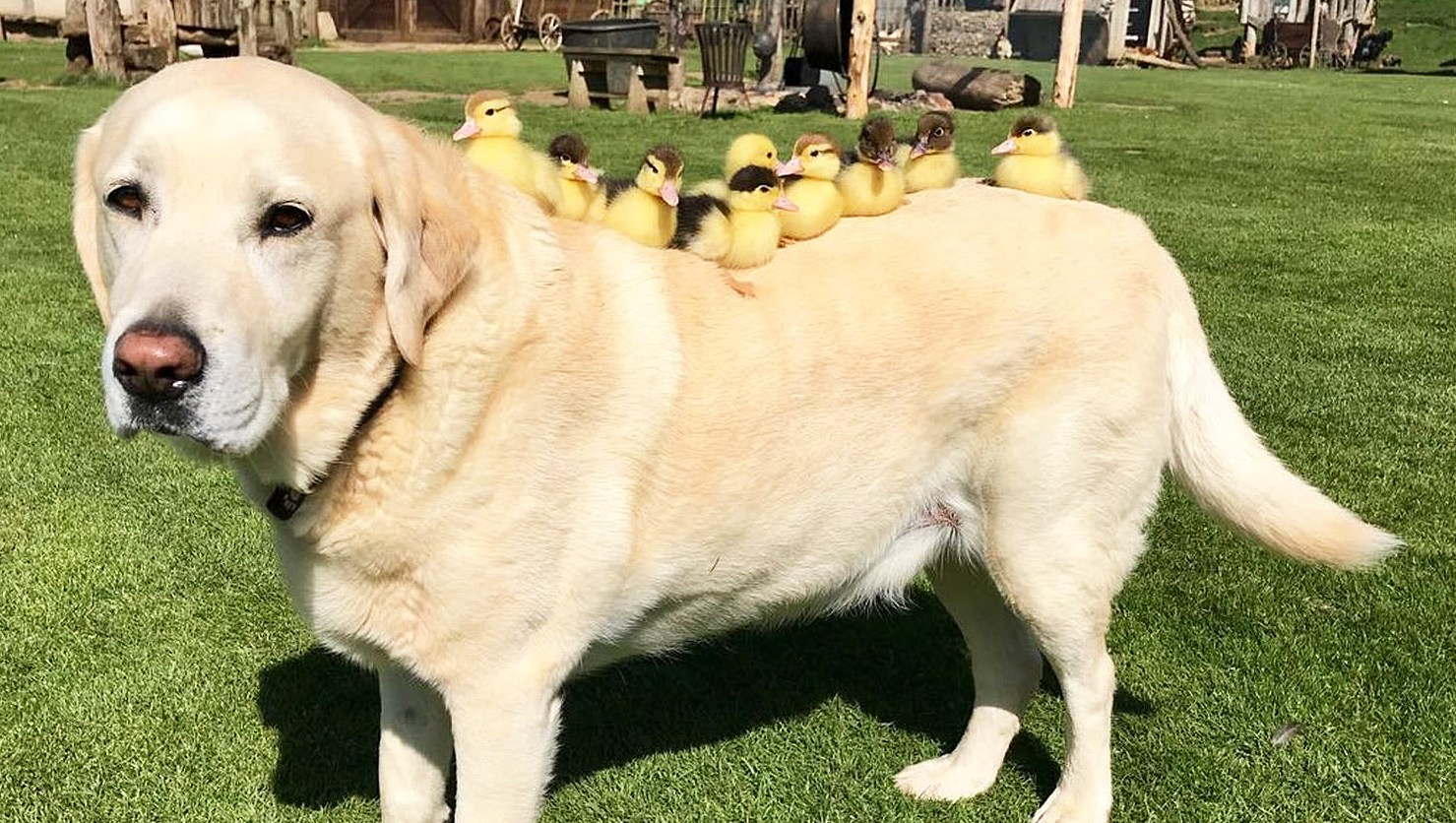 dog adopts ducklings