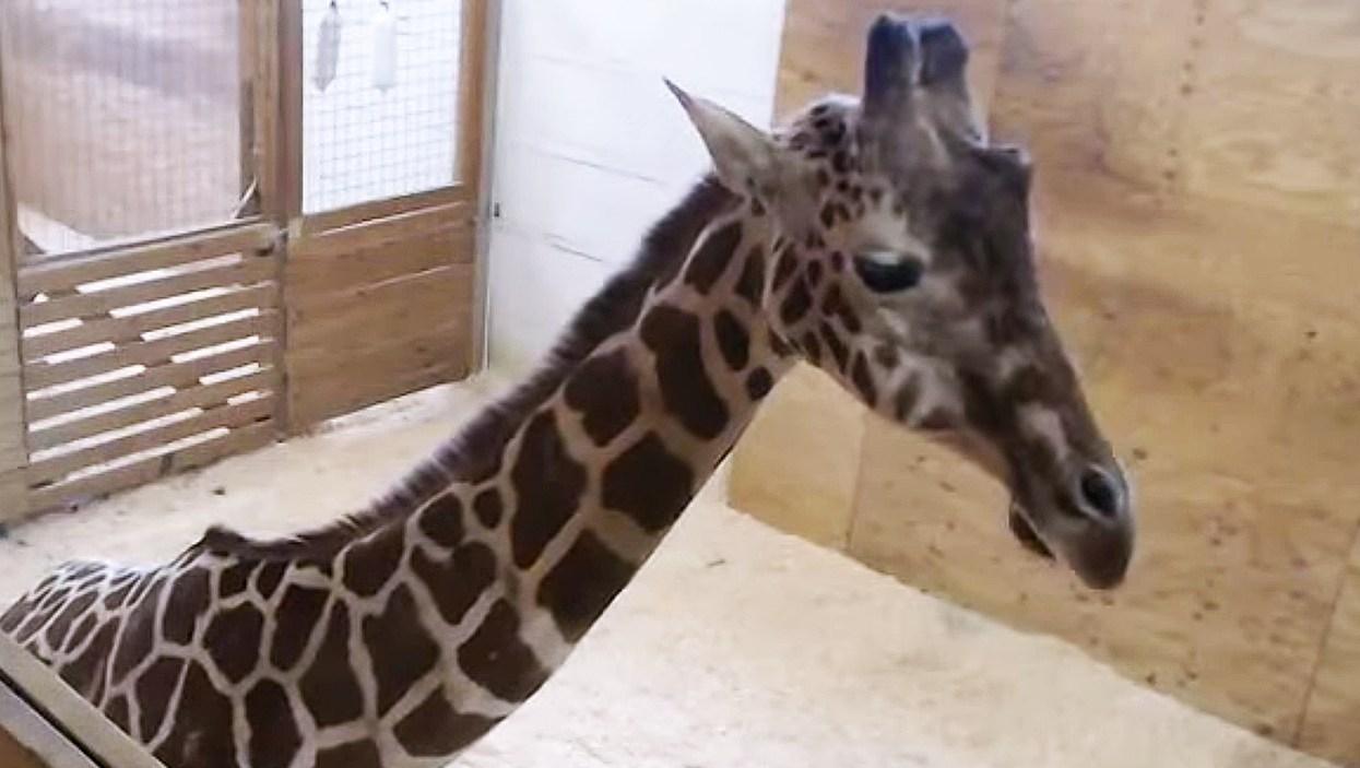 April the Giraffe pregnant again