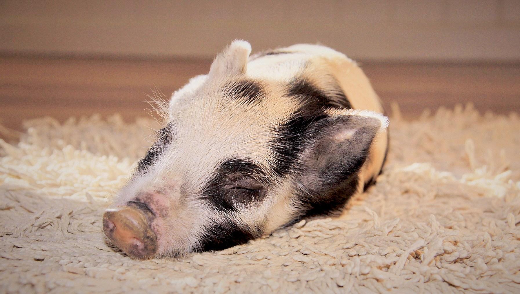 Dumplin-the-Pig