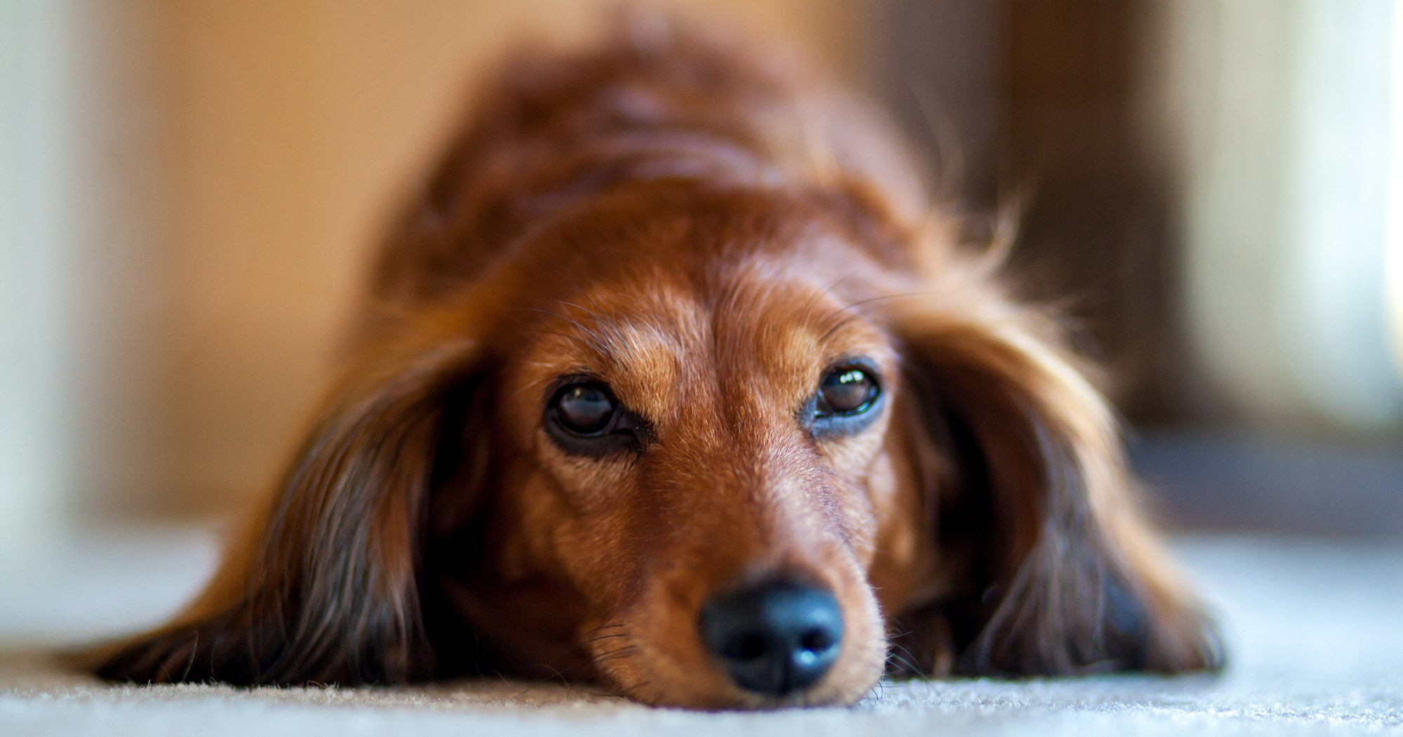 Grab the Tissues: Dachshund Reunites With Family Five Years After Going Missing