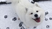 Maya the Samoyed Social Media Pet Star