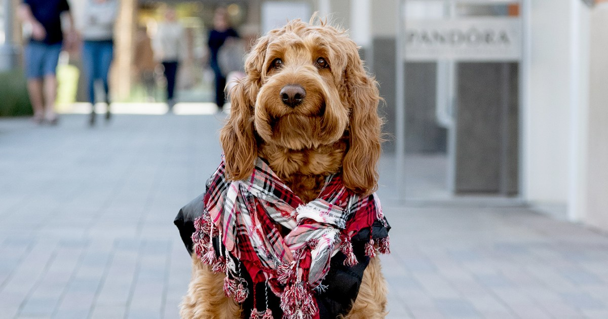 Goldendoodle Murphy's Favorite Places to Get Double Takes in
