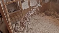 April the Giraffe Gives Birth to Fifth Calf on Livestream
