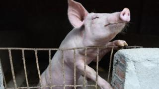 African swine fever: Fears rise as virus spreads to Indonesia 1