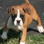 Top Boxer Puppies For Sale Dogs Puppies California Free