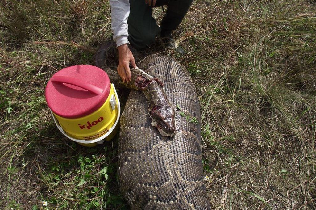 Florida's Invasive Serpent: The Burmese Python - US Represented