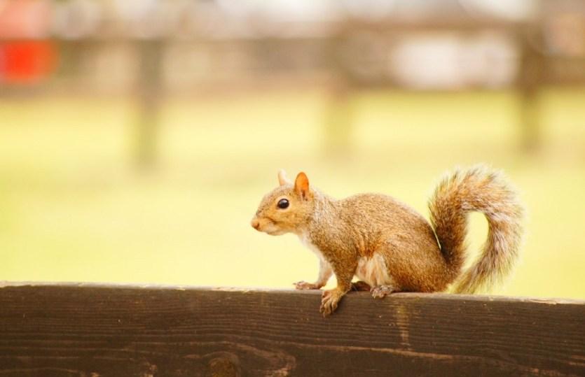 Squirrel Hockey