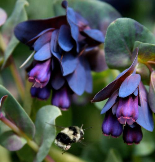 Blue Shrimp Plant Seeds for Sale on Ebay