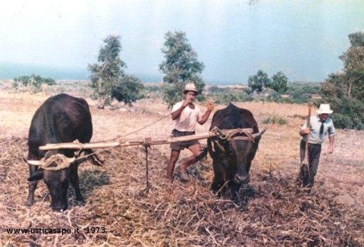 Pestata delle fave nell'aia con le mucche
