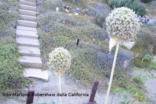 garlic 001