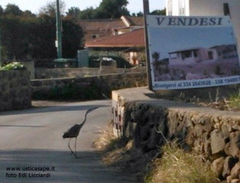 Airone per le vie di Ustica in cerca di casa