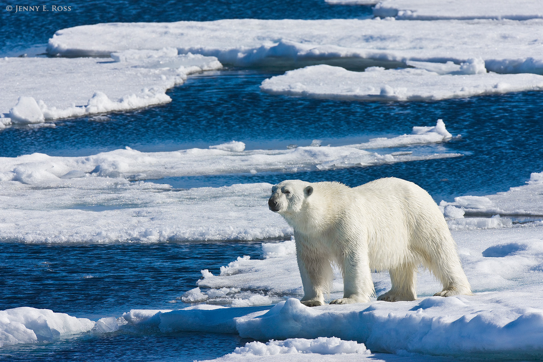 Walking Hibernation Theory Debunked Polar Bears Starve