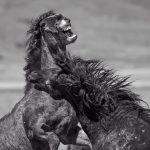 Photography Of Wild Horses Onaqui Herd Photography Of A Unique Herd Of Wild Horses In Utah S West Desert