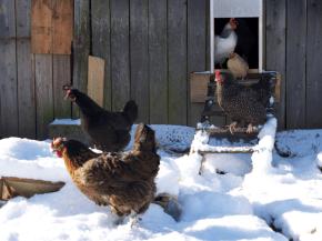 Utopaille poules dans la neige