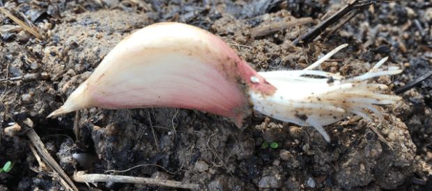 Utopaille Développement racinaire de l'ail