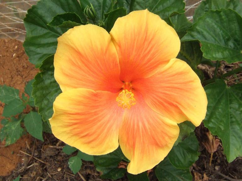イエローベル・・・色を基調として、あまり境界のはっきりしないオレンジが入ります。花のサイズはそれほど大きくはありませんが、多花性で鈴なり状態の開花は見事な眺めです。