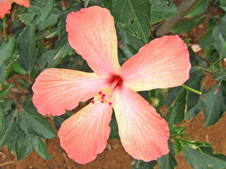 うりずん・・・近年発見(発掘)された品種で、花びらのグラデーションが美しい花です。沖縄で「うりずん」とは、寒さが終わり、初夏へと向かう時期(旧暦の2~3月頃)を指します。