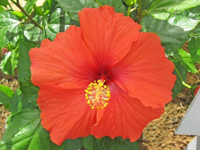 ブリリアント・・・沖縄でよく見かけるハイビスカスその3です。古くから世界中で最も流通している園芸品種ですが、バリエーションが非常に多いため、見分けるのが難しい品種です。