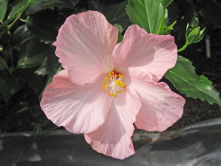 メリーピンク・・・「アマン」より出た品種で、大きめのひらひらした花びらが特徴です。初夏にぴったりの陽気で楽しそうな花ですね。
