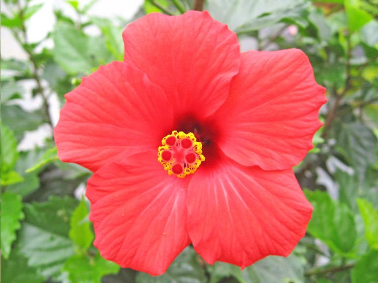 レッドスター・・・沖縄でよく見かける品種その4です。その形はまさに基本形なのですが、ブリリアントが世界基準であるのに比べて、こちらは日本の生産者の手によって広まった品種です。