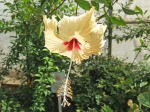 コーラルレモン・・・ギュッと搾ったレモン果汁のような色をした清々しいハイビスカスです。花はブッソウゲ(アカバナ)とよく似た形をしています。