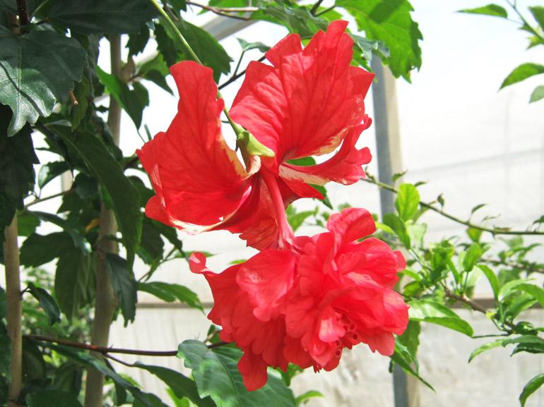 レッドフラミンゴ・・・コーラル系二段咲きの、赤色品種です。性質は強く、どんどん成長します。また二段咲きの仲間は「ちょうちん」と呼ばれることもあるようです。