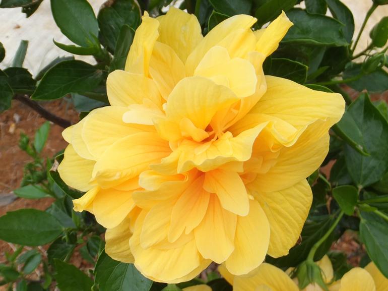 イエロースター・・・黄金色花びらの、小ぶり八重咲き品種です。半球状には成りませんが、咲いた1つ1つが個性ある形に花開きます。まるで小さなスターの卵たちのようですね。