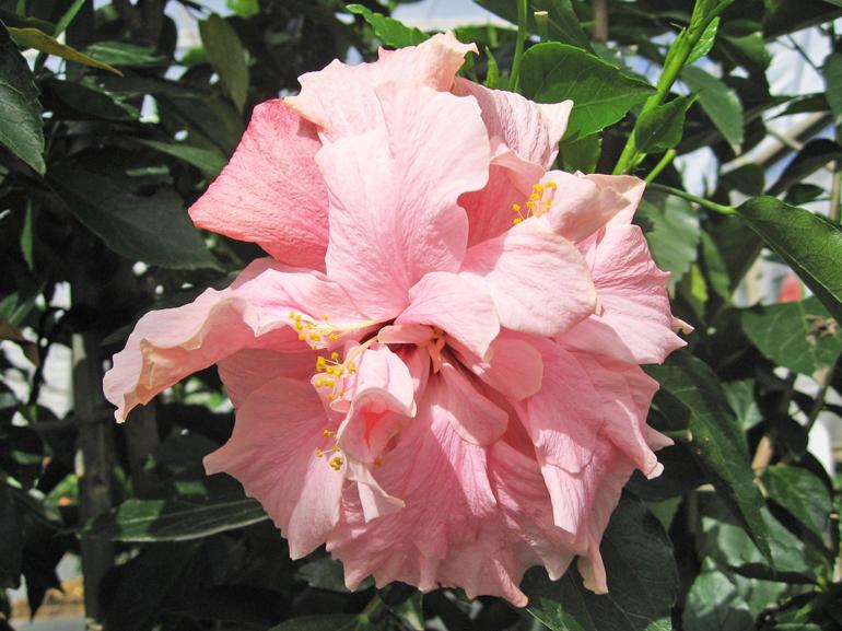 ヴィクトリア・・・ハワイ王朝との関係も深い大英帝国の女王ヴィクトリアの名を頂いた品種で、別名「ピーチブロー」。古くからある八重咲きの花で花柱が複数あります。