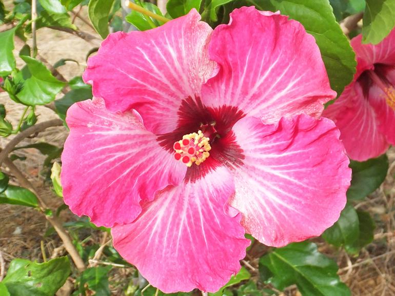 エンパイヤ・・・ピンク色の花びらに白い筋、中心は濃赤色の星型です。