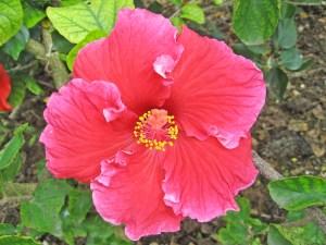 クインスター・・・古くからある品種で、別名「ネイサンチャールズ」とも呼ばれています。紅色のエレガントなフリルが可愛い大輪品種です。