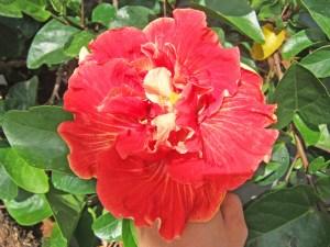 ケビン・・・八重咲きの中でも、この品種のように、お皿の上にコーヒーカップが乗ったような形のものを、特に「カップアンドソーサー」と呼ぶことがあります。