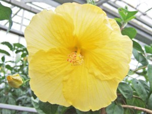 ゴールデンベル・・・黄金色がまぶしい単色ハイビスカスで、花びらはやや薄く、ひらひらしています。黄色ハイビスカスの花言葉「輝き」の通り、まさにきらびやかに輝いていますね。