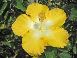 ゴールドホワイト・・・金色に近い黄色の花弁と、中心部の白が品種名の由来でしょう。重厚感のある、凛とした佇まいのハイビスカスです。
