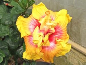 ジェイソンオクモト・・・八重咲きではありませんが、花柱の周囲に、小さな副花弁がついています。子どもがクレヨンで描いた絵のような可愛らしい花ですね。