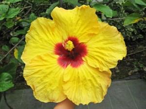 スーパースター・・・時には25センチ超級の巨大な花を咲かせる、まさにハイビスカス界のスーパースターです。季節によって、オレンジ色に変化します。