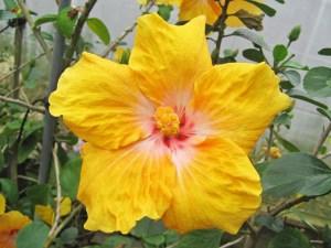 セレナーデ・・・黄色の花弁に中心よりピンクと白の筋状の模様がある品種です。中輪サイズの、控えめな印象のハイビスカスです。