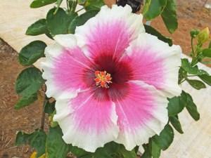 タヒチアンボルテージ・・・よく咲いてくれる品種のひとつで、美しい平面的な開花をします。中心の見事な濃赤色、エッジへと広がるピンク、タヒチの熱気が伝わってきそうなハイビスカスです。
